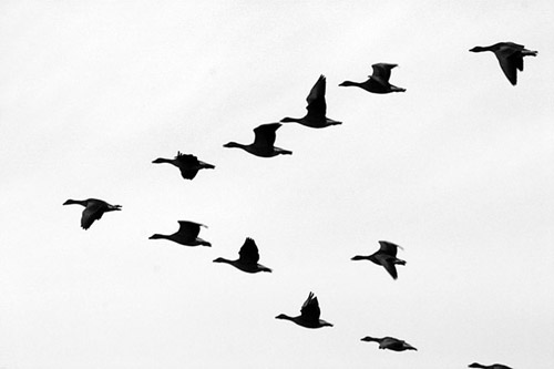 wild-geese1
